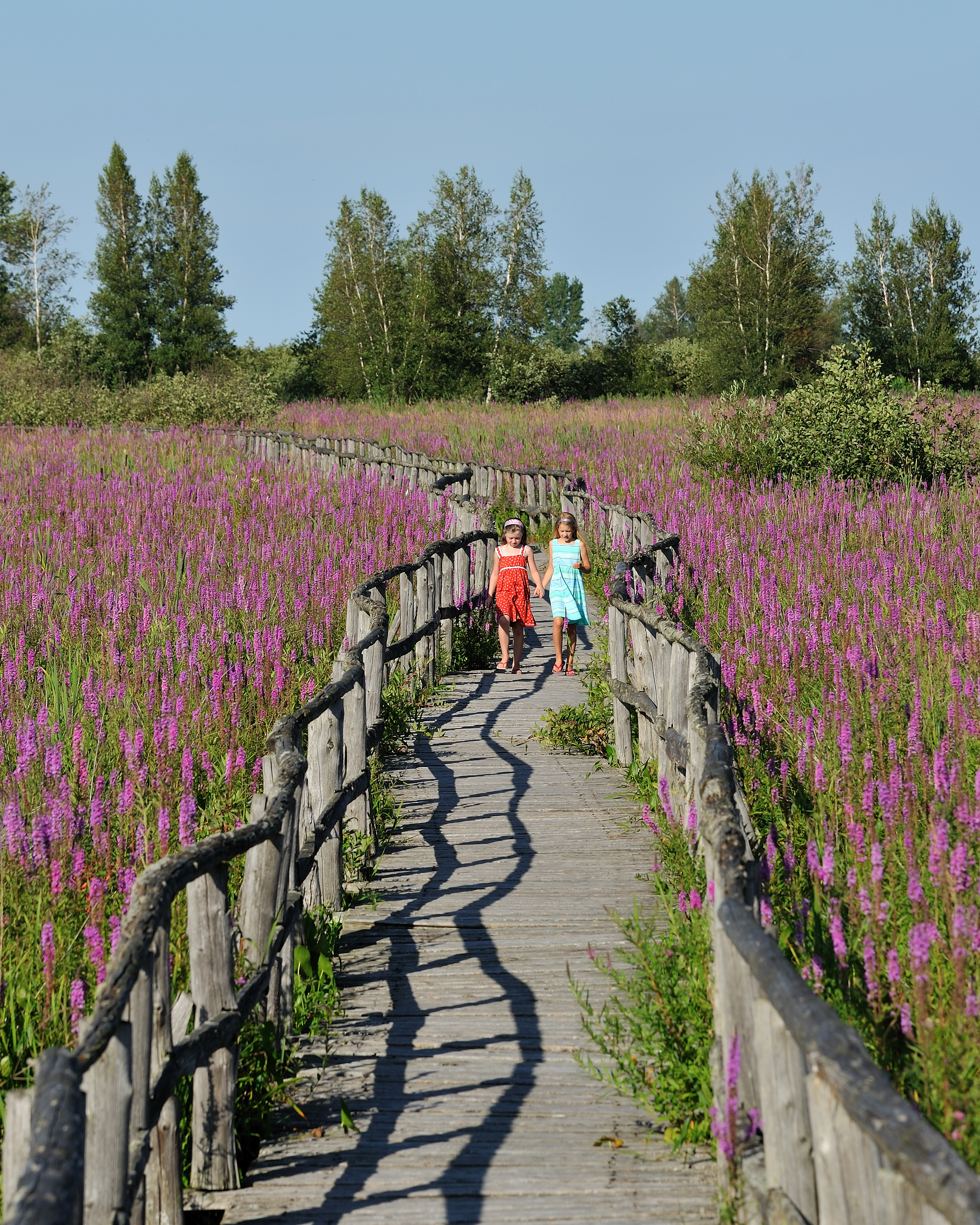 an essay on the invasive qualities of purple loose strife