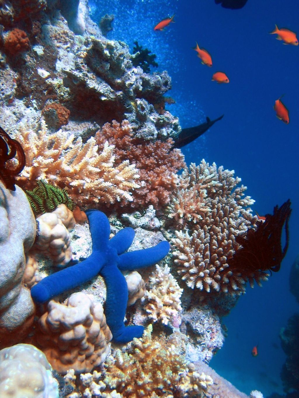 marketing case study blue dolphin restaurant writework english a blue starfish linckia laevigata resting on hard acropora coral lighthouse