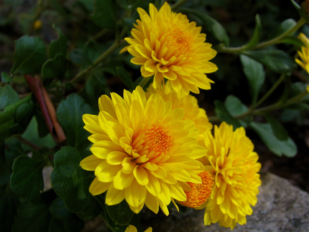 the chrysanthemums point of view