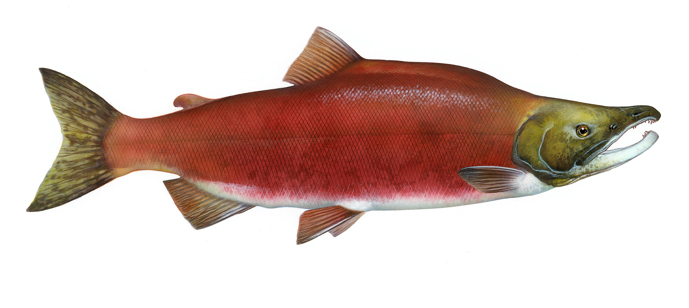 Commercial Fish Stock in Trouble North Pacific Sockeye Salmon ...