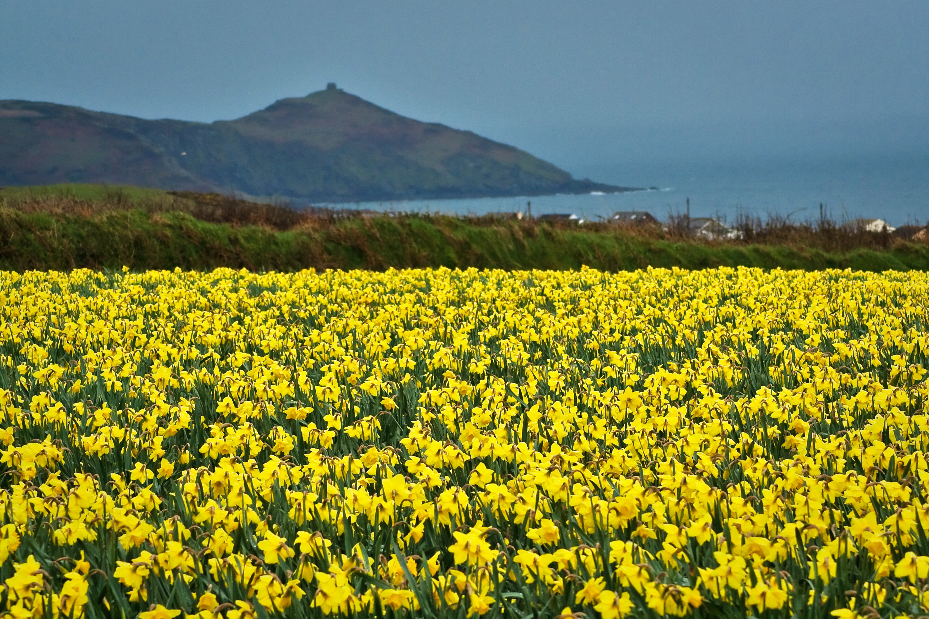 william wordsworth poem i wandered lonely as a cloud  english daffodil field in south east cornwall