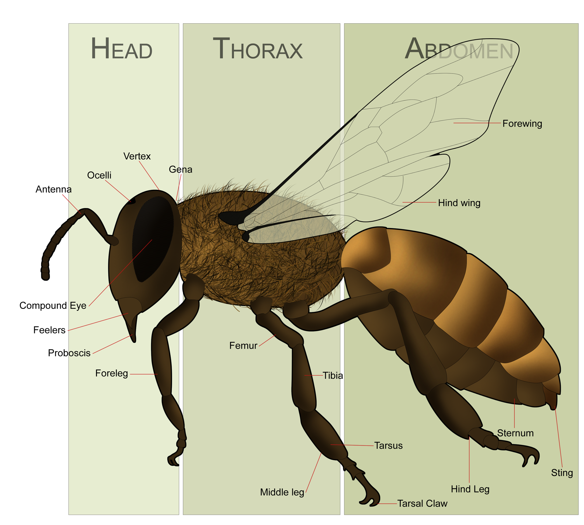 Comparison essay bees and wasps. - WriteWork