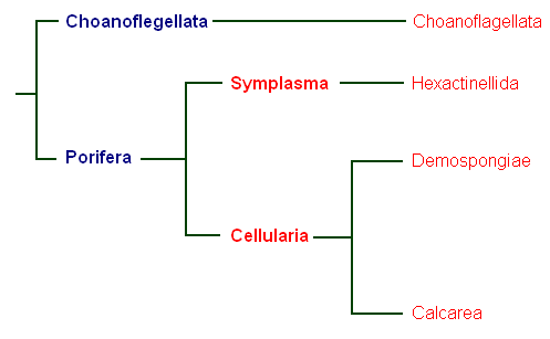 Exam revision notes for grade 11 biology units covered cladogram of phylum porifera ccuart Images