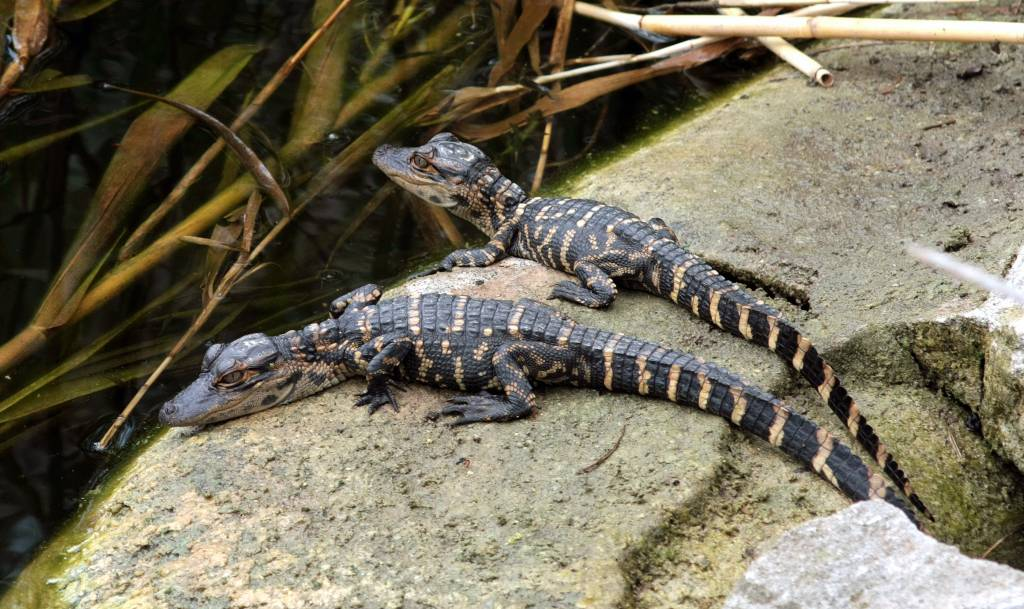 american alligator essay Writing: lesson 23 today the students your essay must be based on ideas and information from the passages since the american alligator population has.