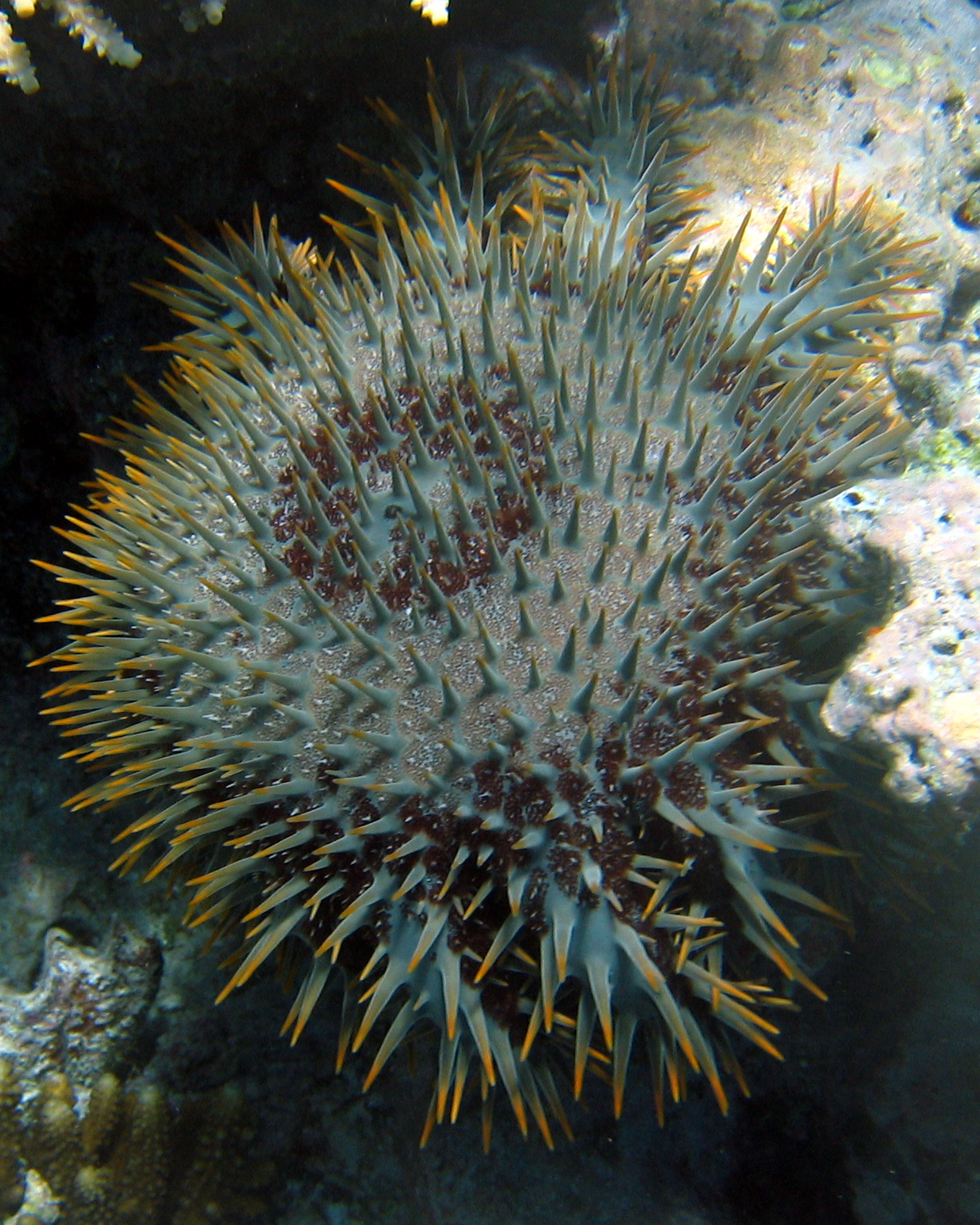 crown of thorns starfish writework crown of thorns starfish in