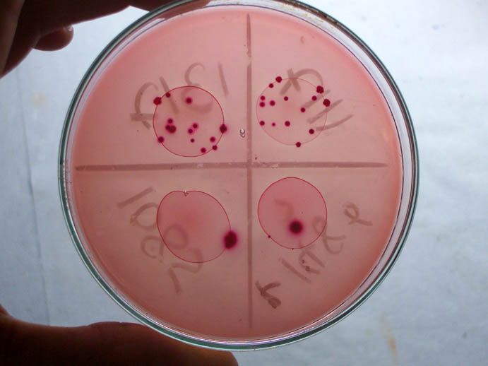 lab report experiment conjugation e coli Pglo bacterial transformation using e coli makes a great there are many ethical dilemmas associated with this lab because of the nature of this experiment.