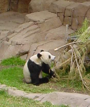 giant panda essay Giant pandas are known for their fluffy white and black fur, but there's lots of other  interesting things about them you may not know.