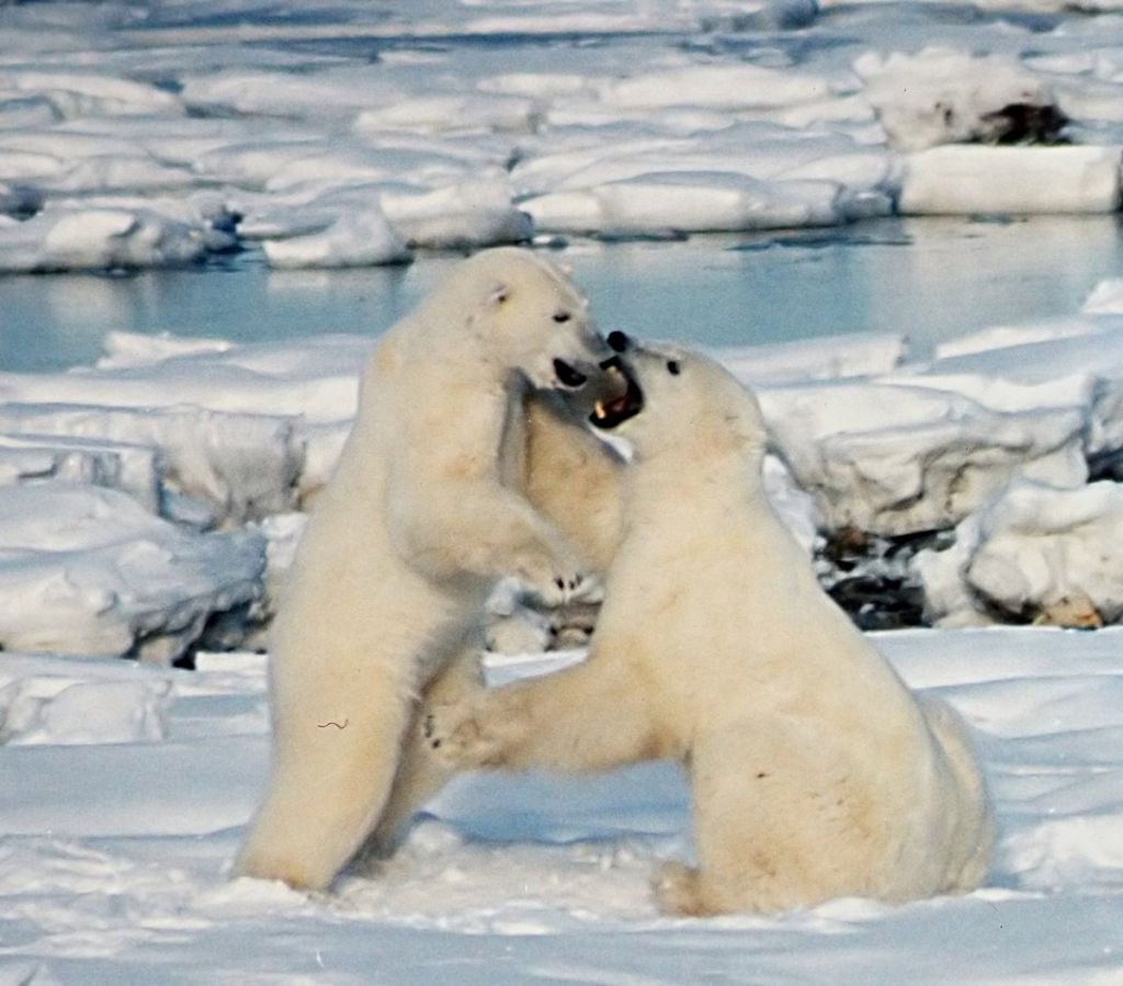 short essay on polar bears Free polar bears papers, essays, and research papers.