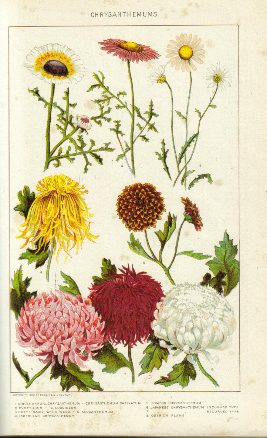 Chrysanthemums by john steinbeck