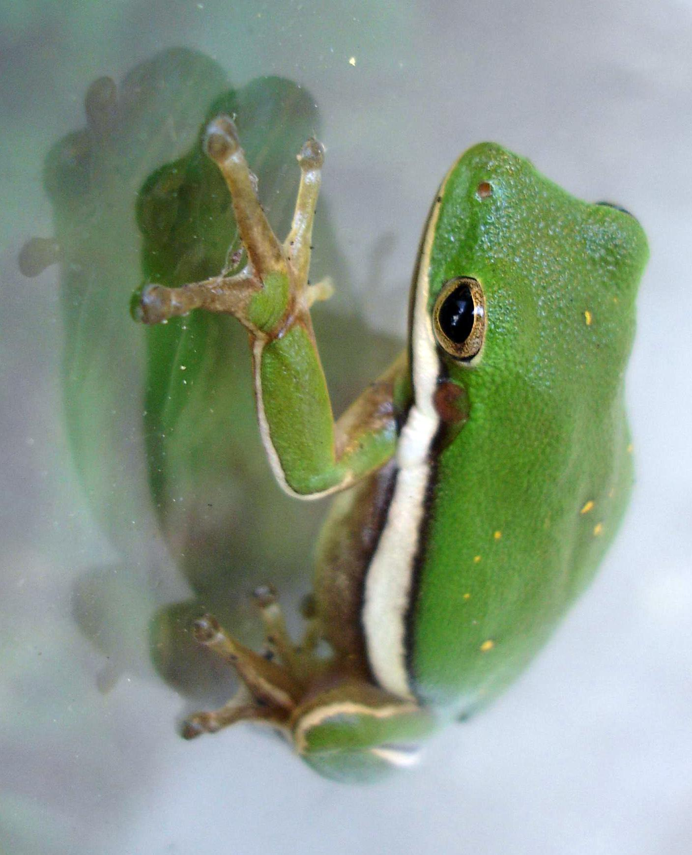 frogs essay Free essay: the two organisms discussed i this report are humans and frogs the taxonomy of an organism includes kingdom, phylum, class, order, family.