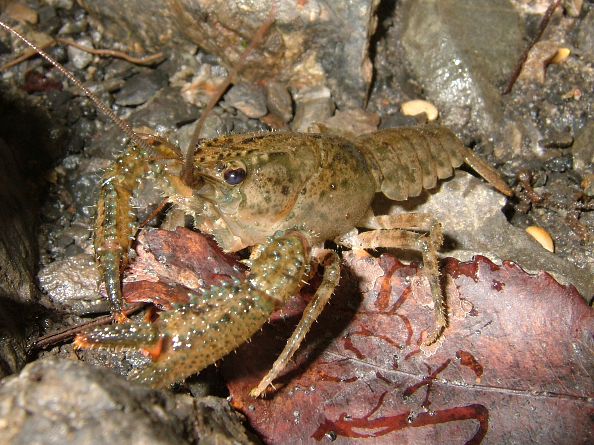 "crayfish complete classification habitat predator and prey Crayfish cambarus bartoni written by sarah friday updated by robert nichols north carolina wildlife resources commission classification class: crustacea order: decapoda ""ten-legged"" average size about 3 in in."
