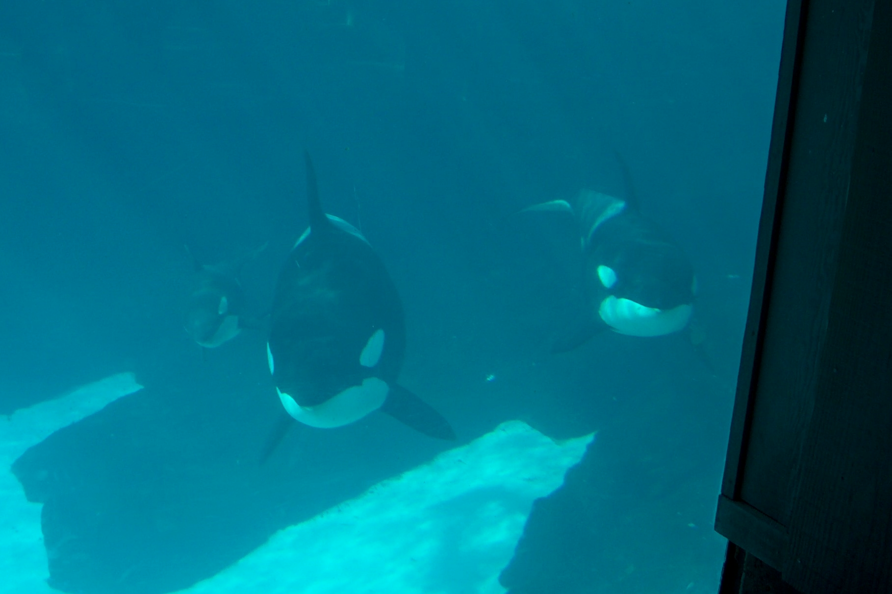 sea worlds orca whales essay Argumentative essay with more people aware of the treatment of the captive orca whales, seaworld has death at seaworld shamu and the dark side of killer.
