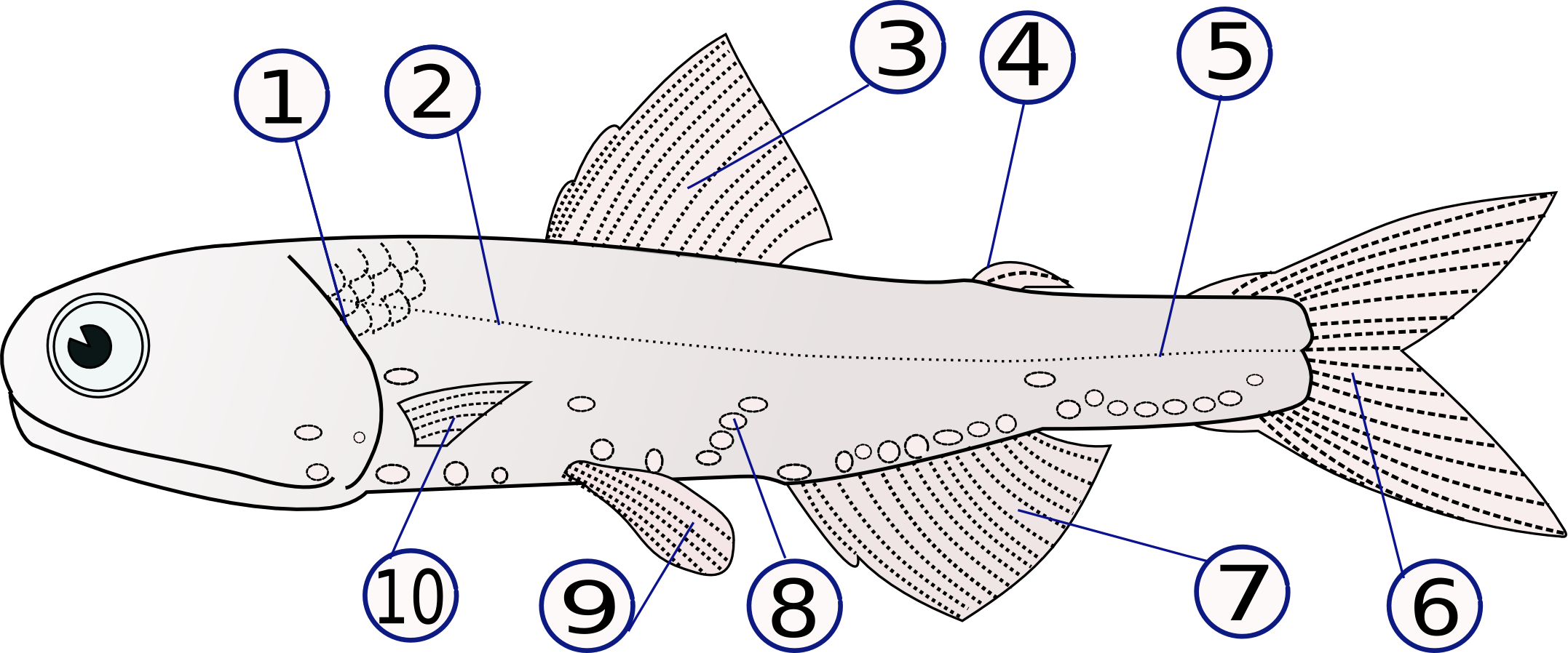Dogfish shark dissection - WriteWork