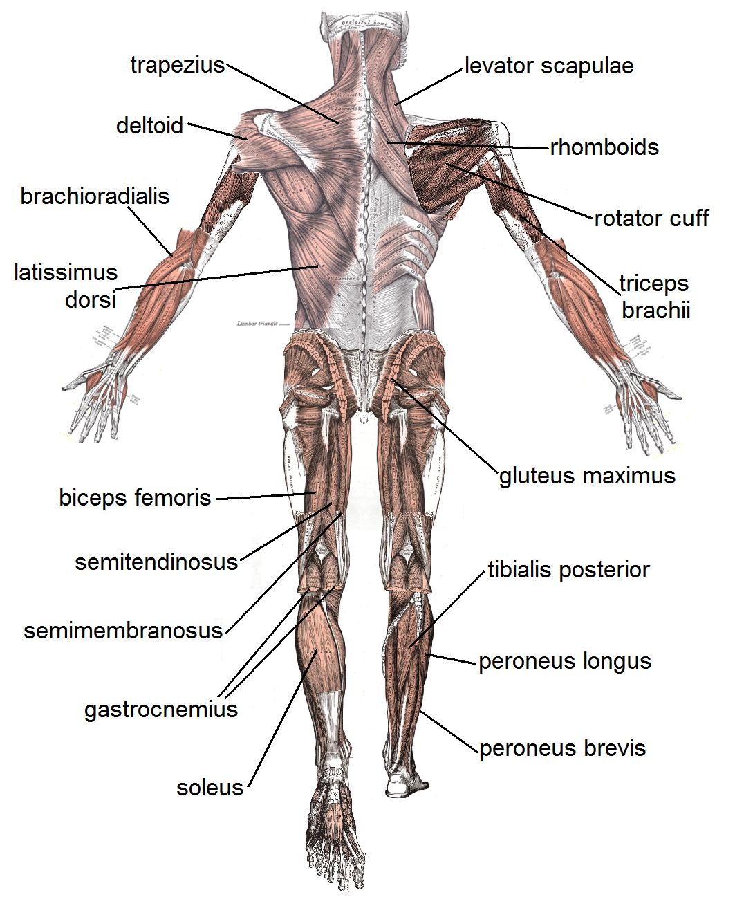 Different Characteristics of Muscular Systems Required for Various ...