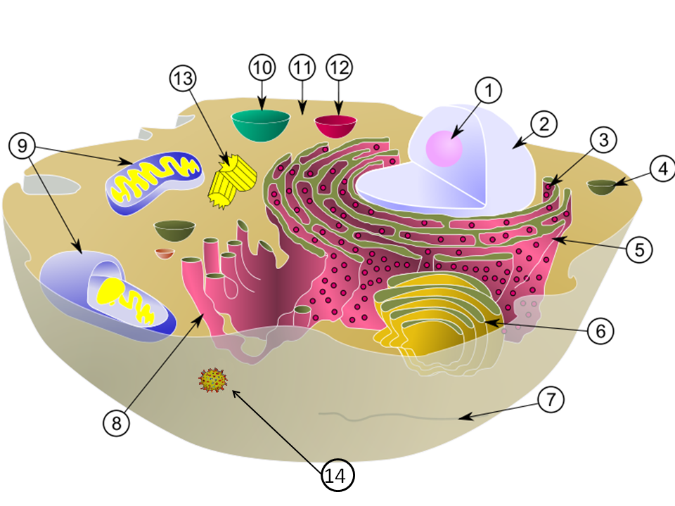 describe how organelles work together to make and secrete a protein They contain enzymes that digest the cell's used parts all of the cell's organelles must work together to keep the cell healthy the cell membrane is the.