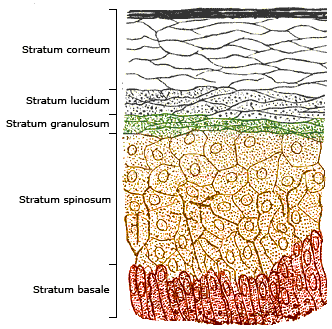 friction ridge skin definition