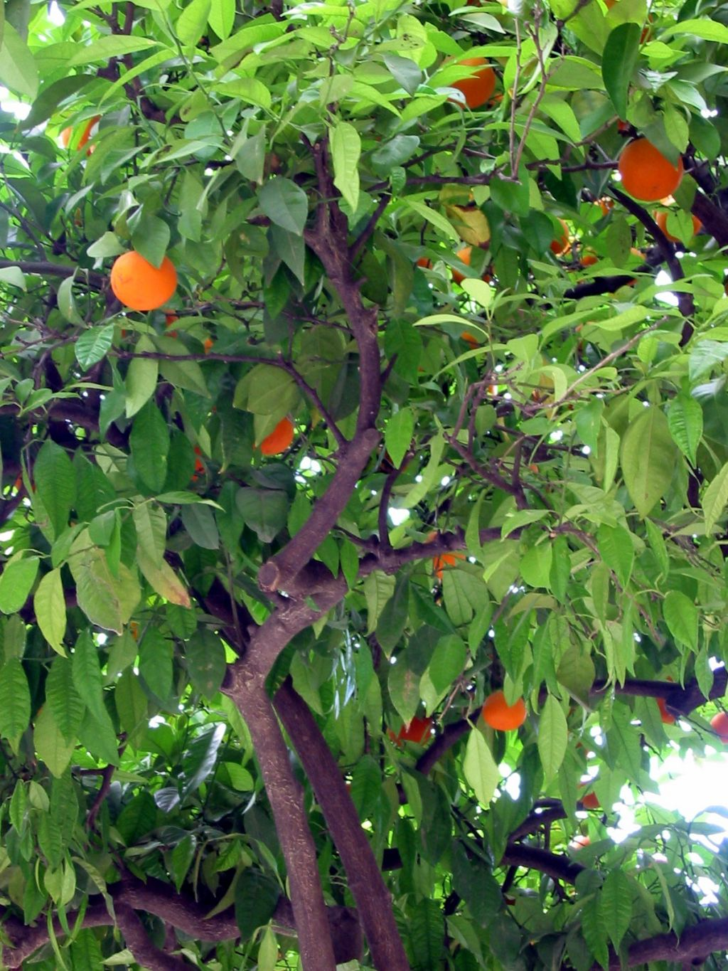 the orange tree essay Orange tree definition: → another word for orange (sense 1 ) | meaning,  used  rarely orange tree is in the lower 50% of commonly used words in the collins   college essay, harper reference has you covered for all your study needs.