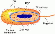 a essay on bacteria of protist Bacteria (sing bacterium) are very small organisms they are prokaryotic microorganisms bacterial cells do not have a nucleus, and most have no.