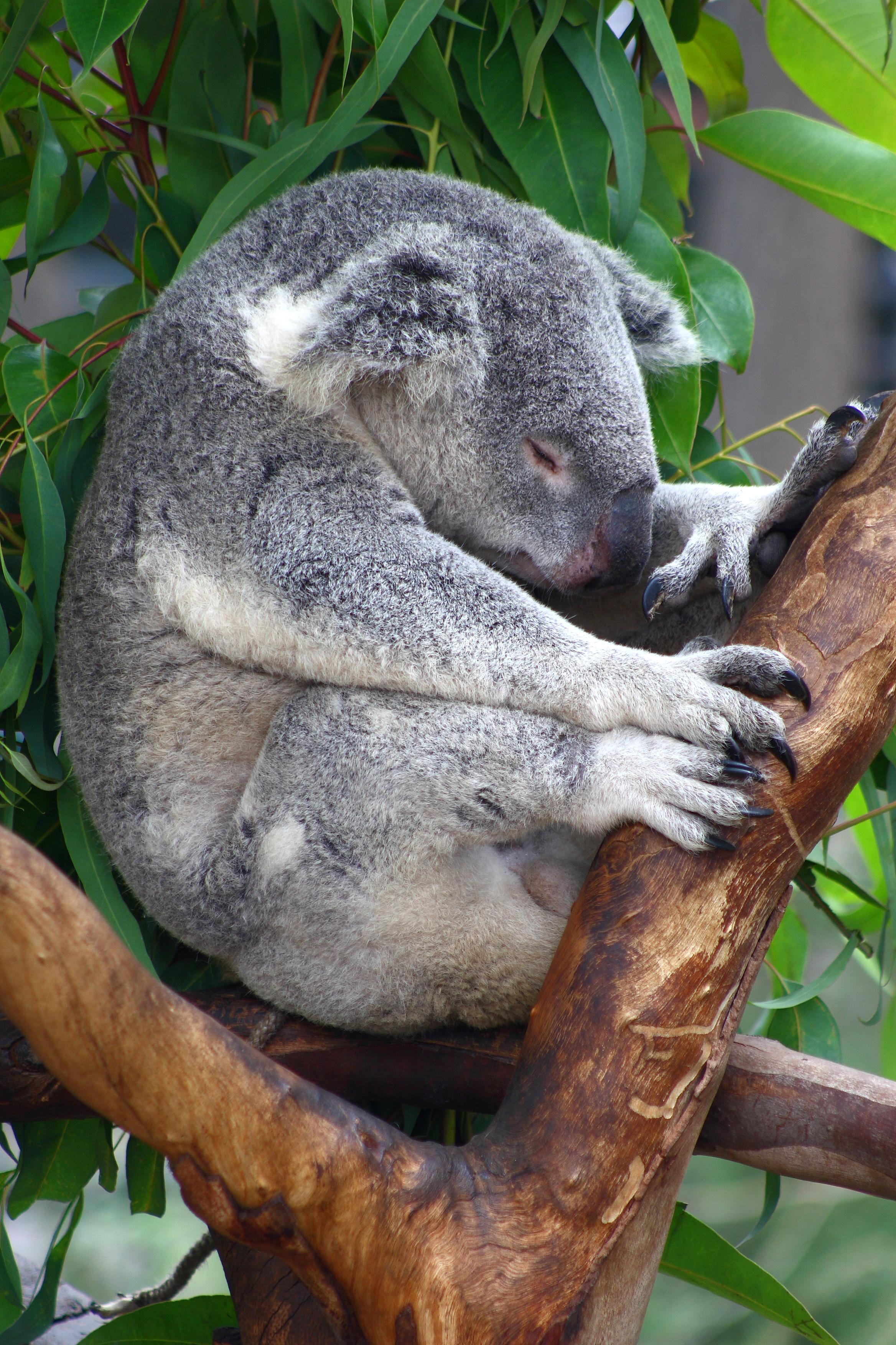 The Koala  Writework Koala Sleeping On A Tree Top Essay Paper Writing also Business Plan Writer Miami  Thesis For Argumentative Essay