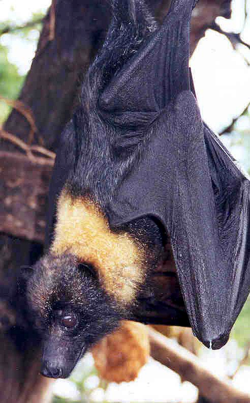mariana fruit bat essay