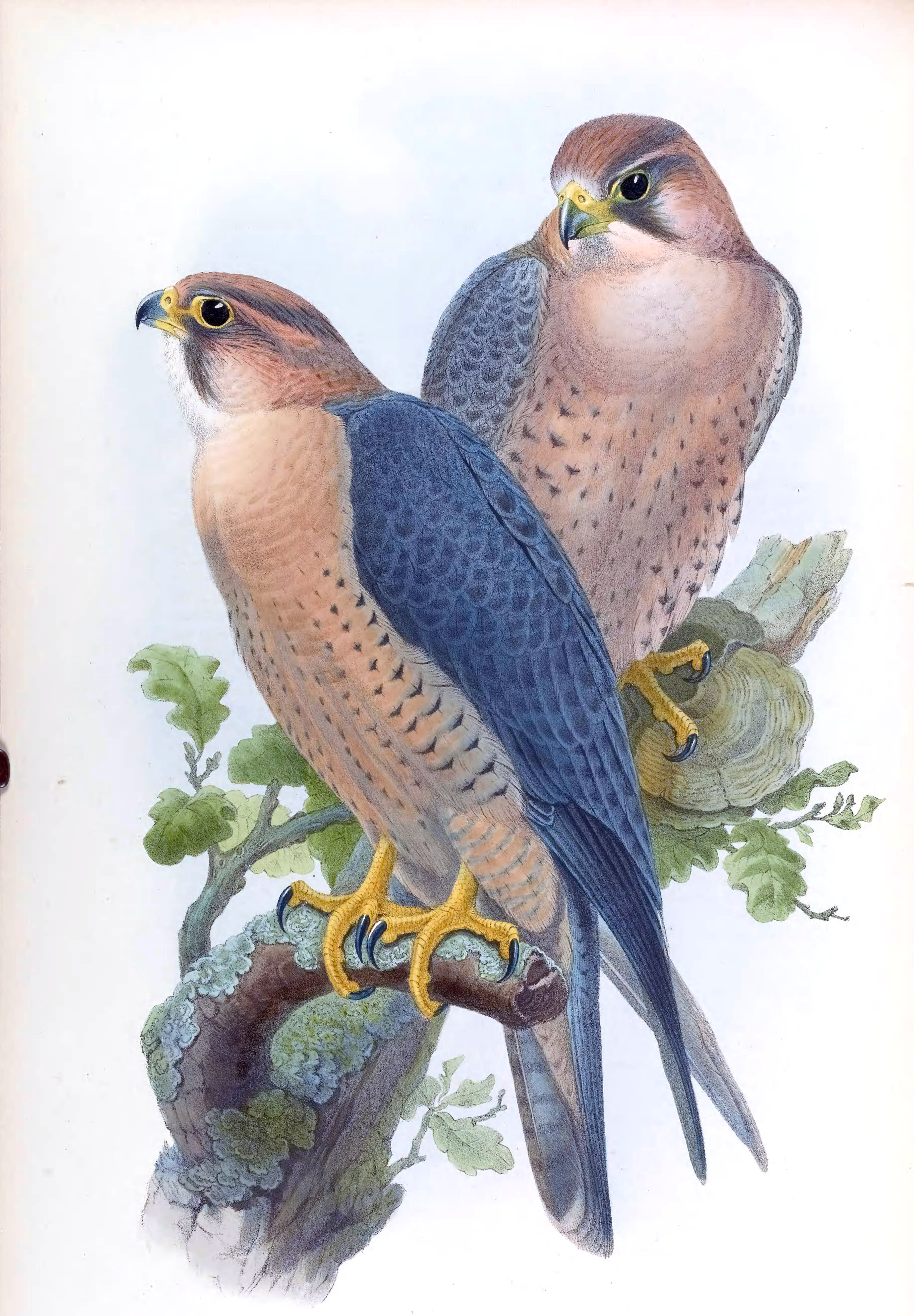 peregrine falcon essay Peregrine falcons do not build nests out of sticks they make scrape nests on ledges, potholes, and crevices on cliffs and buildings this nest box is filled with pea gravel to provide a substrate that cushions and drains the eggs.