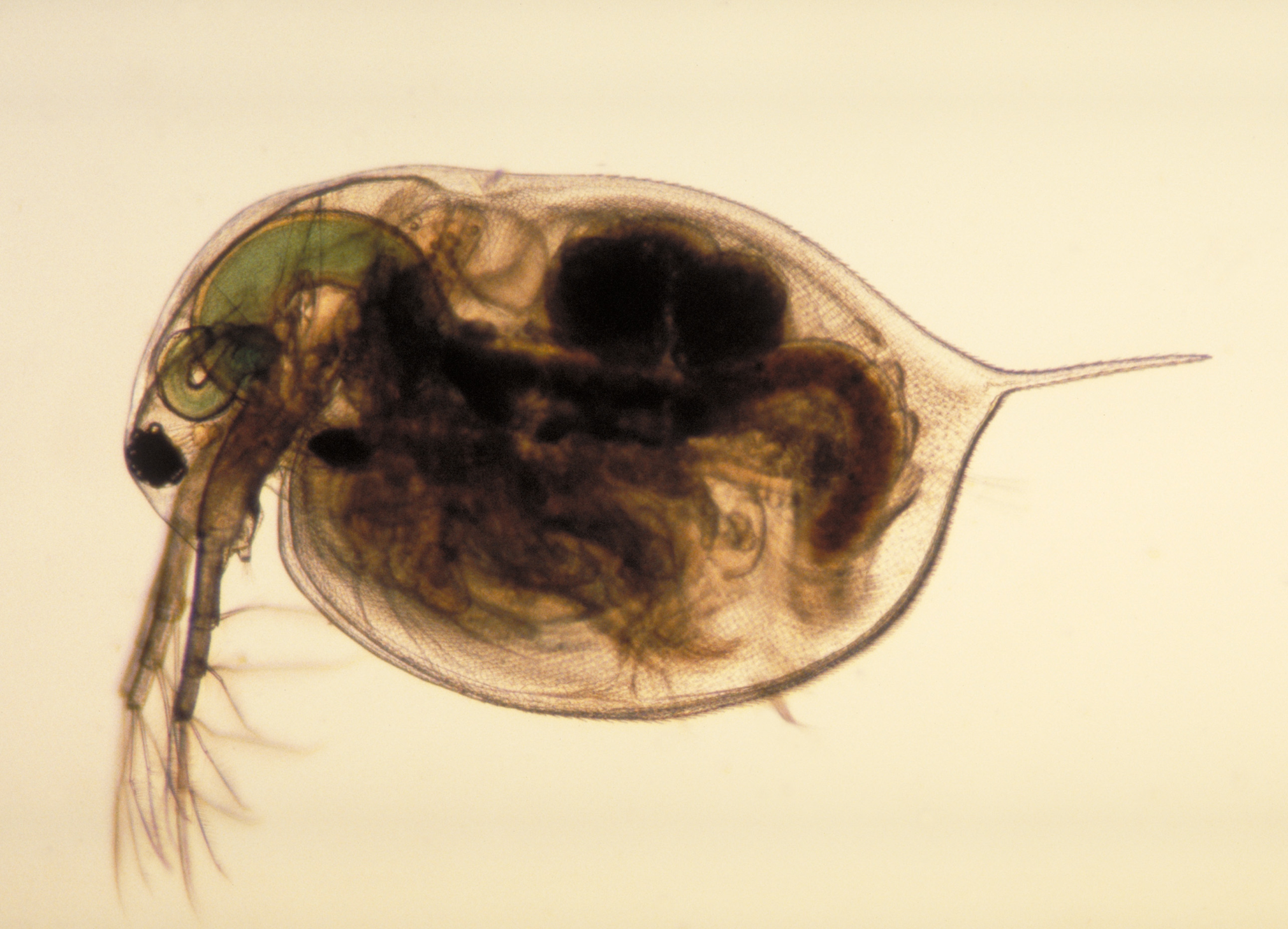 The Effect Of Ibuprofen On The Heart Rate Of The Daphnia Crustacean