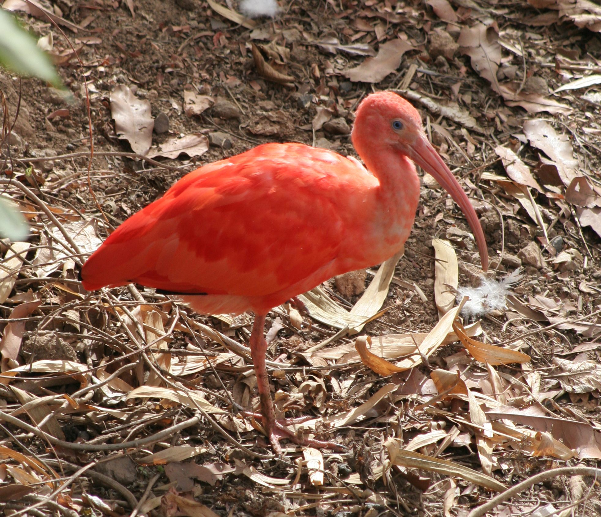 what is the main theme of the scarlet ibis