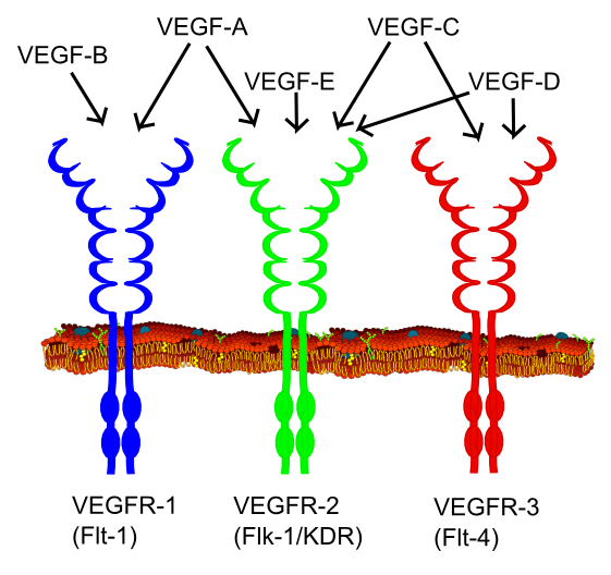 Molecular Pharmacology of VEGF-A Isoforms: Binding and Signalling at VEGFR2