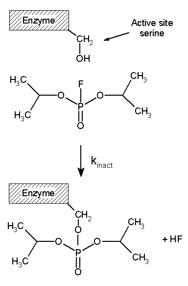 Concentration of enzymes Essay