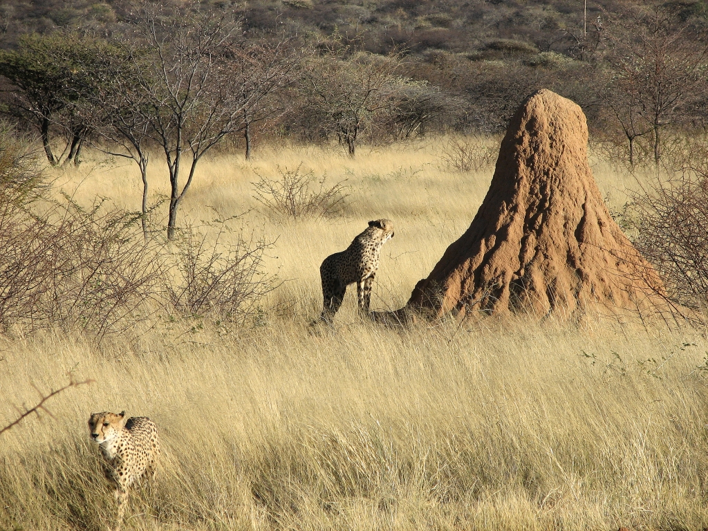 termite mounds essay Nests are considered mounds if they protrude from the earth's surface a mound  provides termites the same protection as a nest but is.