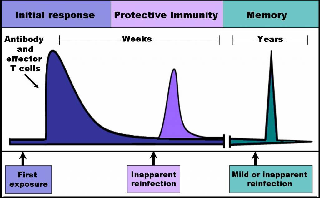 immune response essay From the paper: the human body has two main components to its immune system: the cell mediated response and the humoral response while both are unique responses of the immune system, there is strong interplay between the two.