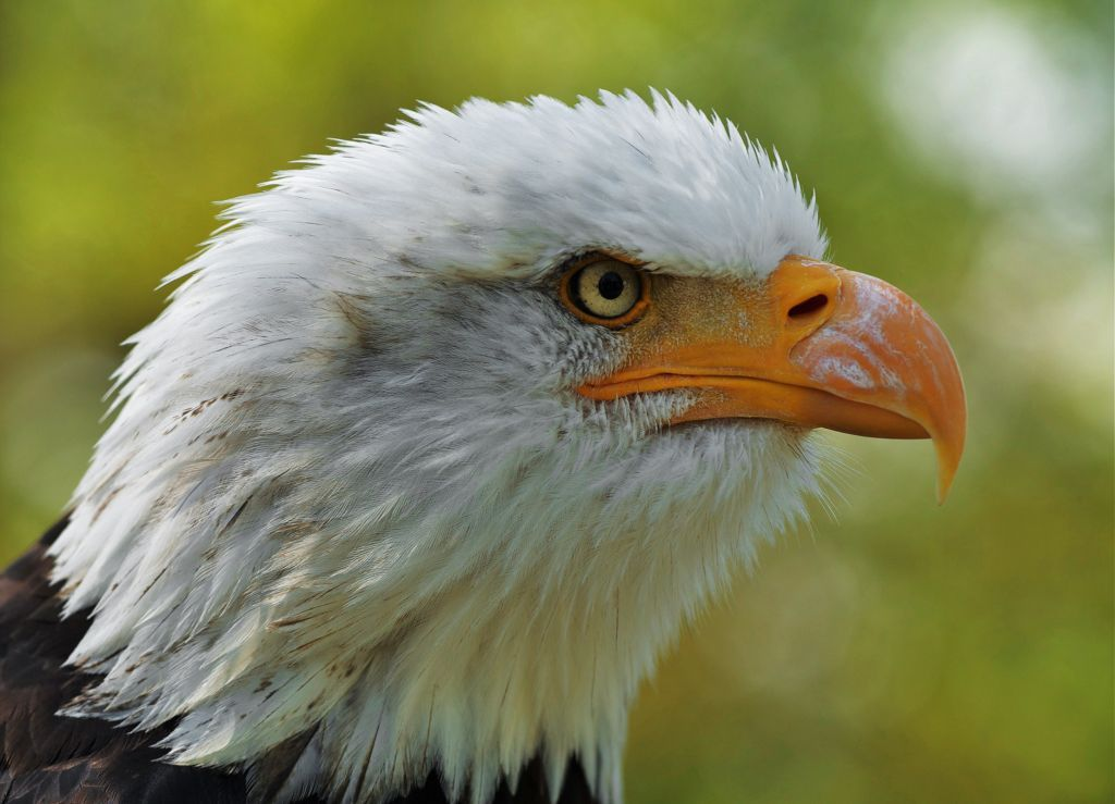 bald eagle endangered essay The bald eagle represents the country of the united states of america because it is one of the most beautiful and symbolic  essay on bald eagle endangered species.
